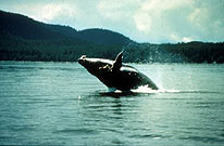 Breaching Whales in Icy Strait, Alaska